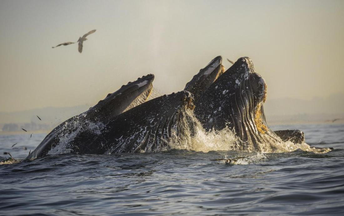 Giant Humpback Whales