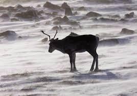 Caribou 3
